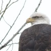 Bald Eagle - Water Street, Waterville, ME - 2 Dec 2016a