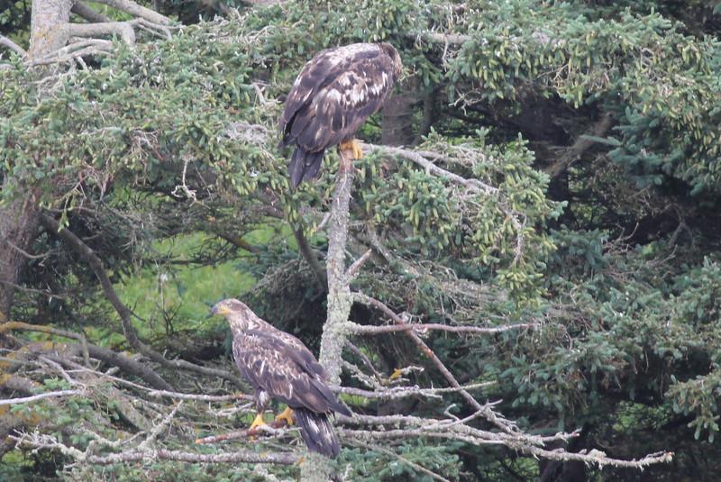 Bald Eagles (imm) - off Vinalhaven, ME - 8 July 2013