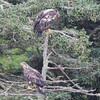 Bald Eagles (imm) - off Vinalhaven, ME - 8 July 2013