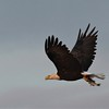 Bald Eagle carrying fish - North Bay, Great Pond, Rome, ME - 15 Sept 2017a