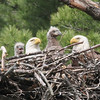 Bald Eagle family - at nest Messalonskee St, Waterville, ME - 15 May 2012a