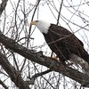 Bald Eagle - stream at Mill Island Park, Fairfield, ME - 17 Feb 2015e
