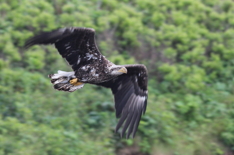 Bald Eagle (imm) - off Vinalhaven, ME - 8 July 2013a
