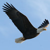 Bald Eagle - river, Green Point WMA, Dresden, ME - 25 Jan 2012