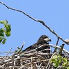 Bald Eagle juv  in nest - Magee Marsh Boardwalk, Lucas, OH - 18 May 2016a