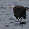 Bald Eagle (imm) - off Vinalhaven, ME - 8 July 2013c