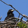 Bald Eagle juv  in nest - Magee Marsh Boardwalk, Lucas, OH - 18 May 2016b