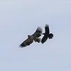 Bald Eagle harassed by Raven - Hamilton Pond, Norway Dr, Bar Harbor, ME - 14 Apr 2018