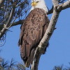 Bald Eagle - Burleigh St, Waterville, ME - 24 Feb 2011b