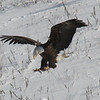 Bald Eagle landing, Hatch Land Fill, Augusta, ME - 24 Jan 2009