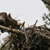 Bald Eagle in nest - from Messalonskee Stream side, Waterville, ME - 11 April 2011c