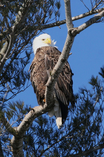 Bald Eagle - Burleigh St, Waterville, ME - 3 March 2011a