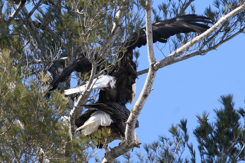 Bald Eagles mating - Burleigh St, Waterville, ME - 3 March 2011best 1