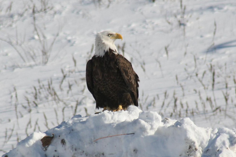 Bald Eagle best 1, Hatch Land Fill, Augusta, ME - 24 Jan 2009