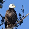 Bald Eagle adult - Hatch Hill Landfill, Augusta, ME - 16 Jan 2018g