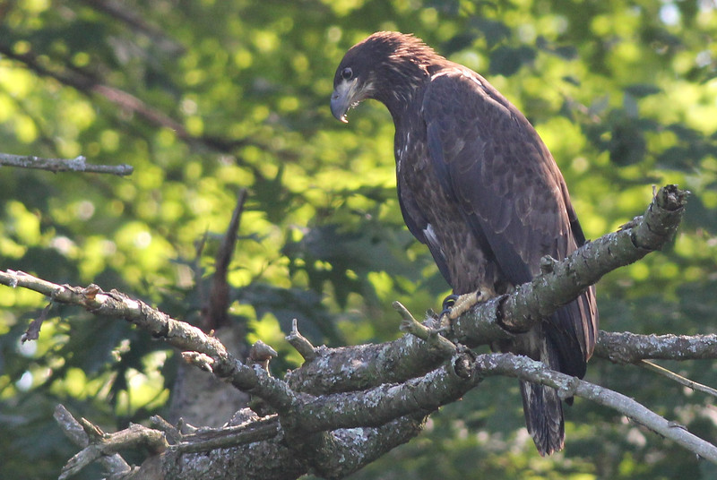 Bald Eagle juv - at nest Messalonskee St, Waterville, ME - 12 July 2012d