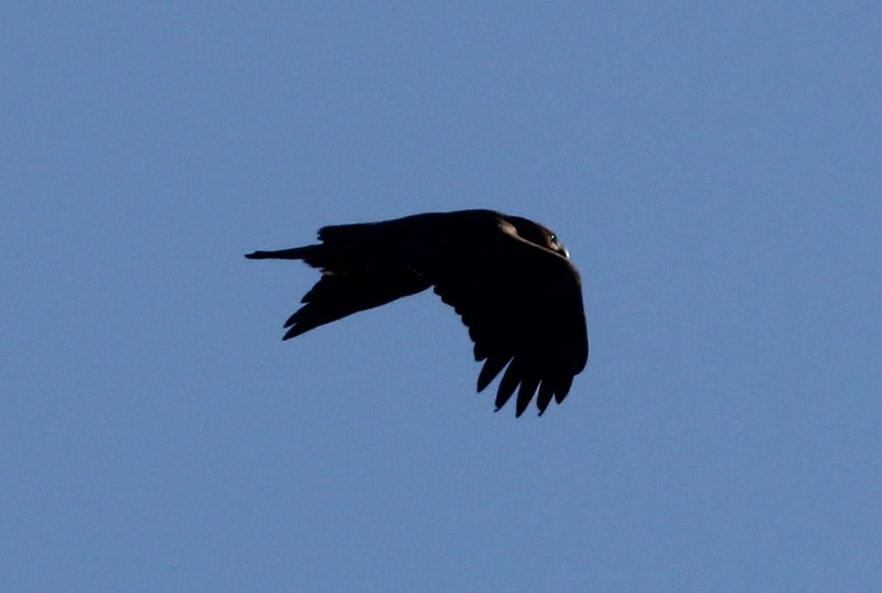 Bald Eagle - 14 Ridge Road, Waterville, ME - 13 Feb 2015