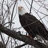 Bald Eagle - stream at Mill Island Park, Fairfield, ME - 17 Feb 2015h