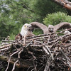 Bald Eagle family - at nest Messalonskee St, Waterville, ME - 15 May 2012b