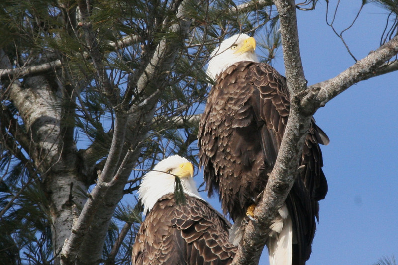 Bald Eagle pair - Burleigh St, Waterville, ME - 2 March 2012b