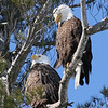 Bald Eagle pair - Burleigh St, Waterville, ME - 3 March 2011best 1