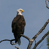 Bald Eagle - Hoyt Island South Channel, Great Pond, ME - 8 Oct 2011b