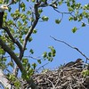 Bald Eagle with juv  in nest - Magee Marsh Boardwalk, Lucas, OH - 18 May 2016d