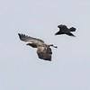 Bald Eagle harassed by Raven - Hamilton Pond, Norway Dr, Bar Harbor, ME - 14 Apr 2018a