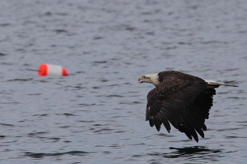 Bald Eagle (imm) - off Vinalhaven, ME - 8 July 2013d