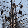 Bald Eagles of various ages - Hill Road, Clinton, ME - 5 Feb 2013a