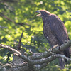 Bald Eagle juv - at nest Messalonskee St, Waterville, ME - 12 July 2012e