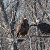 Imm Bald Eagles at Davis Finch's carcass pile -  91 South Rd, East Kingston, NH - 8 Feb 2014