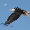 Bald Eagle flying - Hatch Hill Land Fill, Augusta, ME - 24 Jan 2009