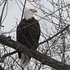Bald Eagle - stream at Mill Island Park, Fairfield, ME - 17 Feb 2015a