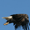 Bald Eagle with banded leg - Burleigh St, Waterville, ME - 7 Feb 2012