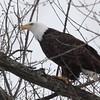 Bald Eagle - stream at Mill Island Park, Fairfield, ME - 17 Feb 2015f