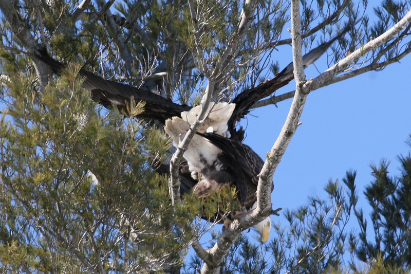 Bald Eagles mating - Burleigh St, Waterville, ME - 3 March 2011best 4