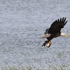 Bald Eagle with fish being chased off by RWBB - Metzger Marsh Wildlife Area, Lucas, OH - 16 May 2016d