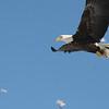 Bald Eagle best (for side face only), Hatch Land Fill, Augusta, ME - 16 Jan 2009