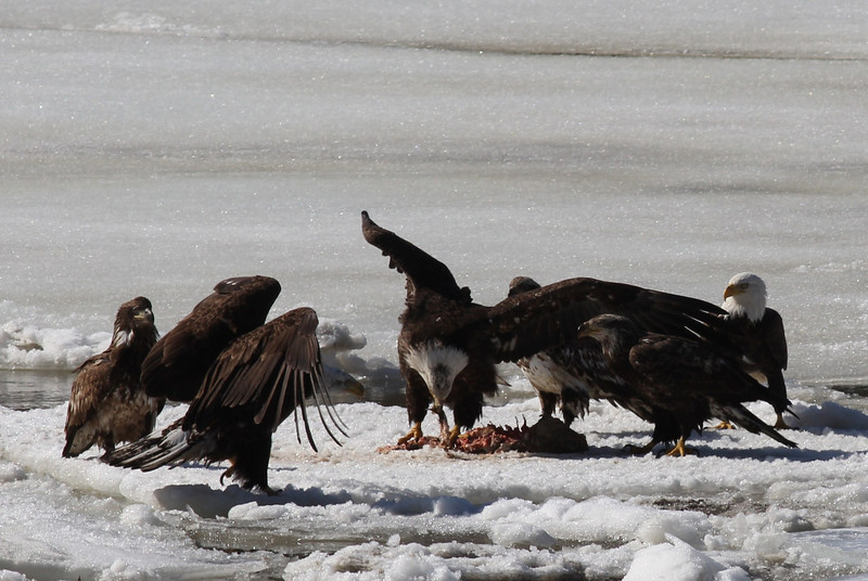 Bald Eagles fighting over fish carcass - Eastern River, Dresden, ME - 4 Apr 2014k