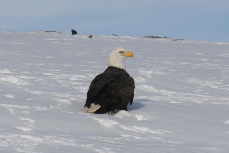 Bald Eagle best1, Hatch Land Fill, Augusta, ME - 16 Jan 2009