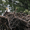 Bald Eagle in nest - from Messalonskee Stream side, Waterville, ME - 11 April 2011a