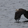 Bald Eagle (imm) - off Vinalhaven, ME - 8 July 2013e