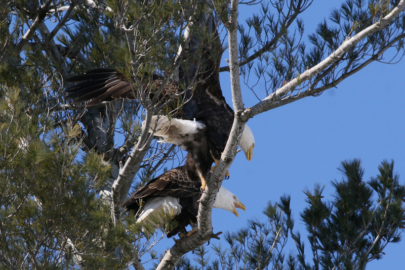 Bald Eagles mating - Burleigh St, Waterville, ME - 3 March 2011best