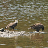 Bald Eagle Juveniles - Kennebec River, Old AMHI, Arsenal St, Augusta, ME - 7 July 2011