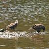 Bald Eagle Juveniles - Kennebec River, Old AMHI, Arsenal St, Augusta, ME - 7 July 2011