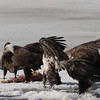 Bald Eagles fighting over fish carcass - Eastern River, Dresden, ME - 4 Apr 2014f