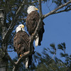 Bald Eagle pair - Burleigh St, Waterville, ME - 2 March 2012c