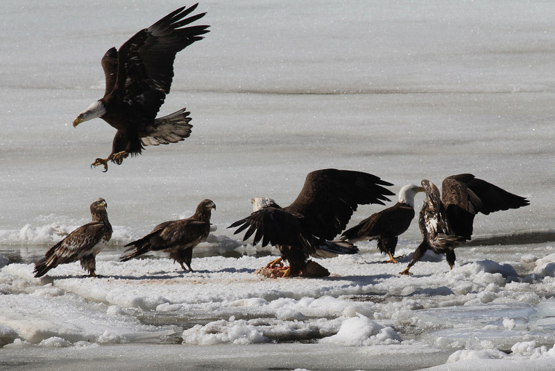 Bald Eagles fighting over fish carcass - Eastern River, Dresden, ME - 4 Apr 2014j