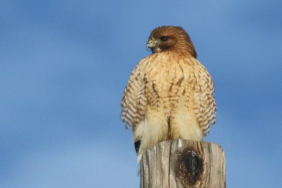 Red-shouldered X Red-tailed Hawk Hybrid
